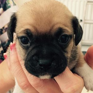 3-week-old-jug-puppy