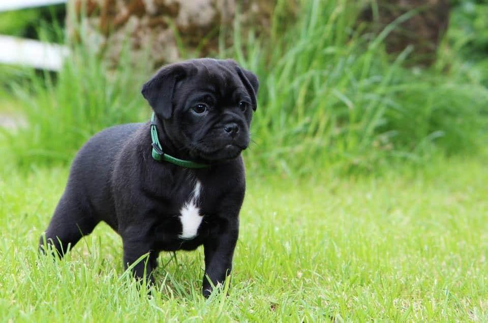Pug dog price in bangalore dating 7