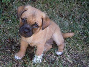 jug-puppy-chloe