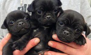 triple black jug puppy