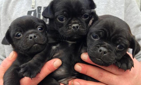 triple black jug puppy