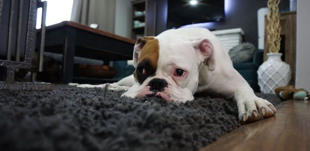 Dog Hairs on Carpet