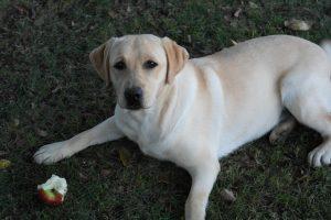 Dog with an apple