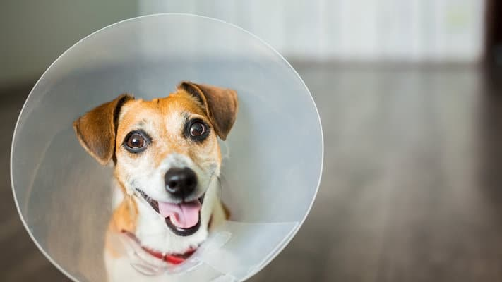How soon can I walk my dog after neutering