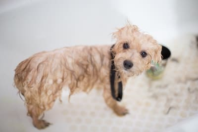how long after flea treatment can you bathe a dog