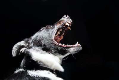 angry dangerous dog