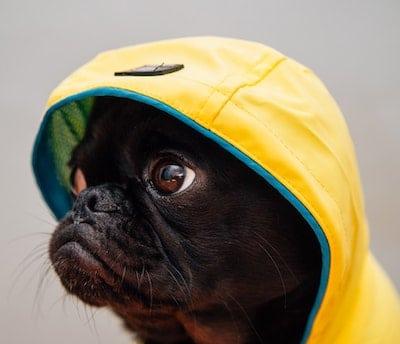 pug in a coat
