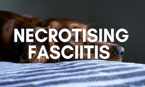 can my dog get necrotising fasciitis